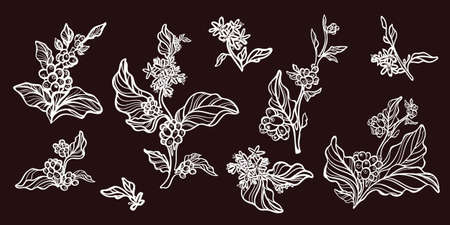 Set of vintage retro handmade pictures. Branches of coffee tree with leaves, flowers and natural coffee beans. Botanical contour drawing. Vector illustration isolated  eps.10  イラスト・ベクター素材