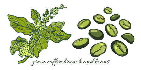 Set with green coffee branch with leaves and natural coffee beans. Botanical contour drawing. 0 Ilustração