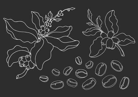 Set of coffee branch with leaves and natural coffee beans. Botanical contour drawing. Vector doodle sketch isolated on black background