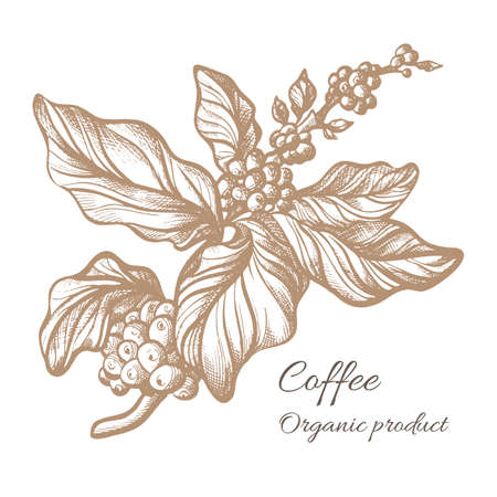 Realistic coffee branch with leaves and natural coffee beans. Botanical contour drawing. Vector illustration isolated on white background eps.10