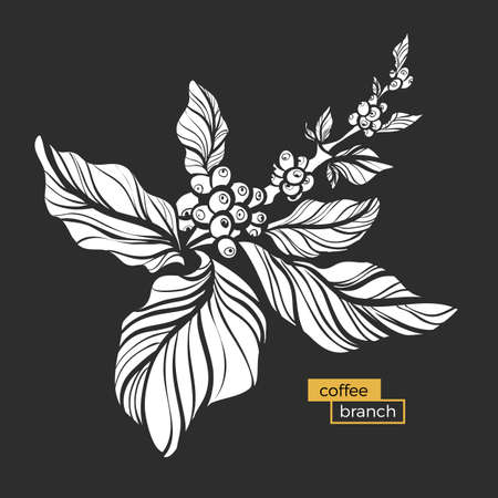 White branch of coffee tree with leaves and natural coffee beans. Organic product. Silhouette, shape. Botanical illustration. Vector isolated on black background eps.10 Illustration