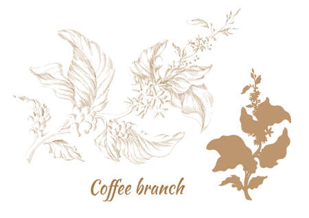 Set of branches of coffee tree with leaves and natural coffee beans.