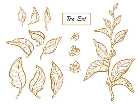Set of tea bush branches with leaves and flowers on white background. Botanical contour illustration. Realistic. Nature. Organic product. Vector isolated and grouped for easy editing eps.10