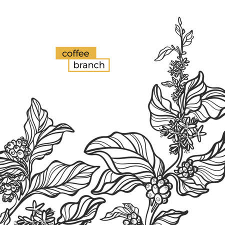 Template of black branch of coffee tree with leaves and natural coffee beans. Organic product. Silhouette, shape. Botanical illustration. Vector illustration isolated on white background eps.10 向量圖像