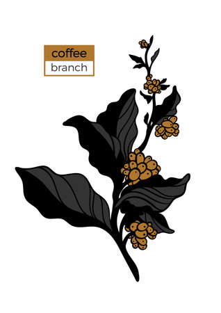 Template of color branch of coffee tree with leaves and natural coffee beans. Organic product. Silhouette, art line. Botanical illustration. Vector isolated on white background eps.10