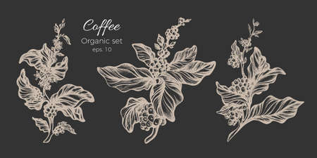 Vector set of white coffee tree branches with realistic leaves, flowers and beans.