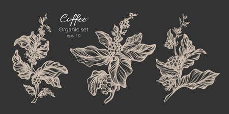 Insieme di vettore dei rami di albero del caffè bianco con foglie, fiori e fagioli realistici.