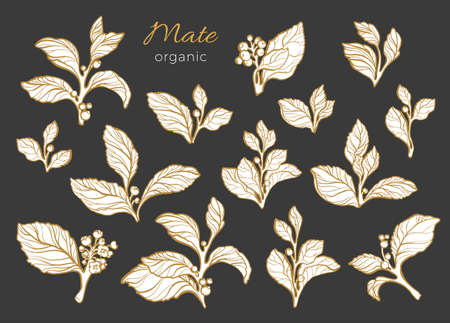 Vector set mate branches with leaves, berry and flowers. Realist shape collection on black background. Botanical drawing. Organic food. Illustration isolated and grouped. Design natural motifs Eps.10 Ilustração
