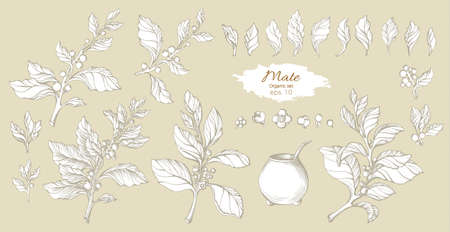 Vector set of white mate branches with realistic leaves, berries and flowers. Realist shape collection. Botanical drawing. Organic food. Illustration isolated and grouped. Design natural motifs Eps.10 Ilustração