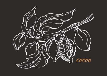 Vector of cocoa tree branch with leaves and beans. Botanical drawing. Line art design, sketch. Realistic nature style symbol. Organic food. Illustration isolated on black background eps.10