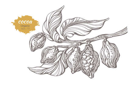 Vector sketch of cocoa tree branch with leaves and beans. Botanical drawing, hand made. Line art design. Realistic nature style. Organic food, chocolate. Realistic illustration on white background