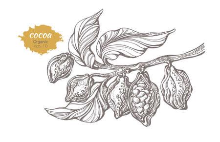 Vectorschets van cacaoboomtak met bladeren en bonen. Botanische tekening, handgemaakt. Lijntekeningen ontwerp. Realistische natuurstijl. Biologisch voedsel, chocolade. Realistische illustratie op witte achtergrond