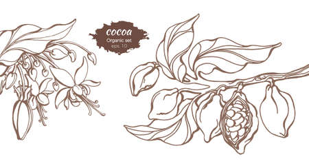 Vector template of cocoa tree branches with leaf, flower and bean. Botanical drawing. Simple sketch design, floral realistic set. Organic food. Illustration isolated on white background. Copy space Иллюстрация