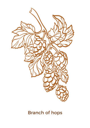 Vector branch of hops with leaf and cone Botanical art line drawing design Realistic sketch of plant Eco food Nature background Organic drink, beer Herb illustration isolated on white background Eps10