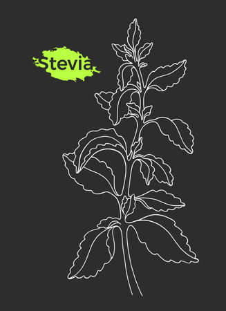 Art sketch of stevia with branch, leaf. Vector healthy organic product. Natural sweet plant. Herbal symbol. Organic fresh drink. Realistic graphic illustration isolated on black background