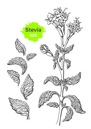Vector set of stevia with branch, leaf. Fresh sugar organic product Natural sweet plant. Botanical hand draw symbol. Organic diabetic food Graphic art sketch illustration isolated on white background
