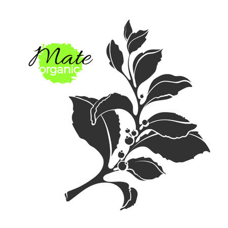 Vector engraved of mate branch. Shape natural plant with realistic leaves. Botanical icon, bio print. Organic drink, vegan food, herb sticker Realistic nature illustration isolated on white background Banque d'images - 105588487