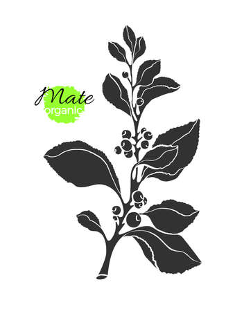 Vector shape of mate branch. Tea natural plant with realistic leaf, berry. Vegan icon, engraved symbol Organic drink, fresh food, herb bio sticker Realistic nature illustration, medicine healthy stamp Banque d'images - 105664549