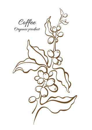 Vector Coffee Tree Branch Leaves Natural Beans Botanical Art