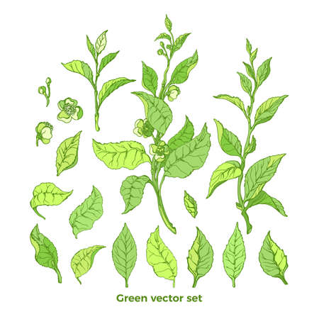 Vector set of nature branch, leaves, flower. Green tea bush. Natural drink Botanical organic collection Art graphic paint illustration Hand drawn summer sketch Floral simple design, isolate element