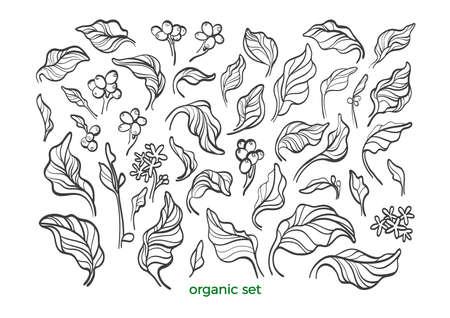 Vector nature set. Realistic botanical coffee leaves, bean, flower. Sketch art line design. Floral isolate on white background Organic vegan food, tropical flora, vintage symbol Bio simple element Stock Illustratie