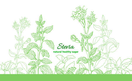 Stevia plant. Vector green branch, leaf, flower. Health diabetic diet. Fresh herb sugar. Organic extract. Natural aroma sweet drink. Botanical hand draw plant. Graphic art line herb illustration