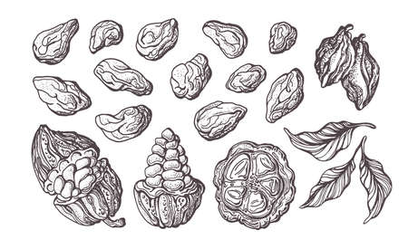 Cocoa hand drawn set. Vector illustration. Chocolate ingredient. Botanical sketch of bean, fruit, leaves. Group of isolate on white background. Tropical food. Cacao sweet drink, natural chocolate Stok Fotoğraf - 132295270