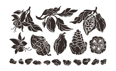Cacao set. Growth stages. Vector shape, realistic mold. Chocolate ingredient. Botanical sketch of bean, fruit, leaves, flower. Group of isolate on white background. Stok Fotoğraf - 132309625