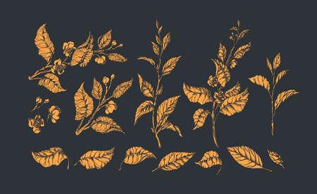 Floral set. Golden vector tea bush, bud, branch, leaf, flower. Botanical shape, nature isolate. Vintage elegant old collection. Summer garden. Organic aroma drink, herbal food