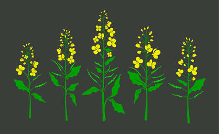 Canola set, mustard plant. Vector color shape, green leaf, bud, seed, yellow flower. Rapeseed oil. Healthy organic plantation. Harvest field. Botanical collection isolated on black background.