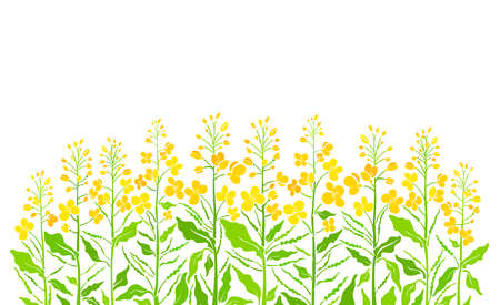 Flowering field. Vector canola set, mustard plant. Art shape of green leaf, summer bud, seed, yellow flower on white background. Farmland in bloom. Bio product