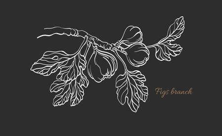 Figs branch. Vector ficus carica tropic plant, raw fruit, leaf. Art line sketch, vintage botanical hand drawn illustration. Sweet fresh food. Farm plantation Vecteurs