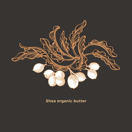 Shea tree. Vector karite branch, sketch leaf, nuts. Hand drawn engraving vintage symbol. Natural butter, organic cosmetic, graphic illustration isolated on black background. Bio oil