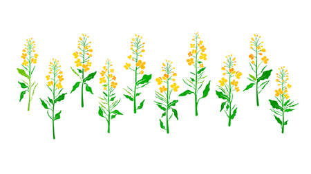 Canola plant set. Vector green leaves, bud, seed, yellow flower. Rapeseed oil. Fresh organic collection. Harvest field. Botanical shape isolated on white background