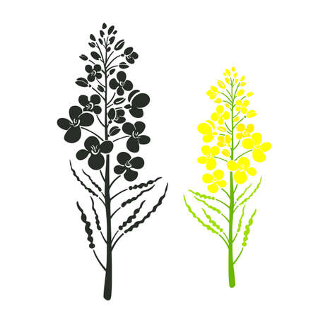 Rape vector set, blooming brassica napus yellow flower, botany canola icon. Healthy food. Hand drawn illustration isolated on white background. Farm plant for oil industry and green bio energy