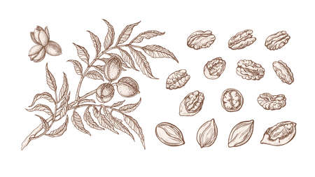 Pecan set. Vector hand drawn plant, branch, nuts, leaf. Healthy natural food. Vintage texture illustration isolated on white background. Farm harvest