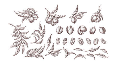 Pecan nuts set. Vector plant, vintage branch, leaves. Healthy natural food. Hand drawn texture illustration isolated on white background. Farm harvest
