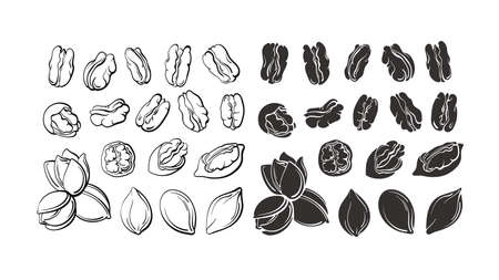 Pecan nuts set. Vector hand drawn sketch, silhouette. Vintage botanical illustration isolated on white background. Healthy organic dry food. Farm vegan collection Ilustração