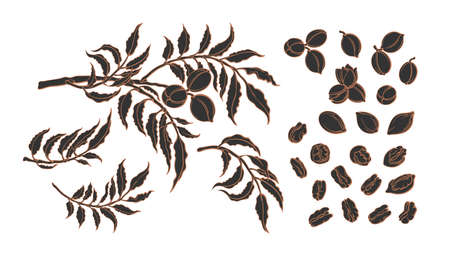 Pecan elements set. Vector tree, branch, nuts. Graphic horizontal illustration on white background. Botanical sketch. Organic healthy food