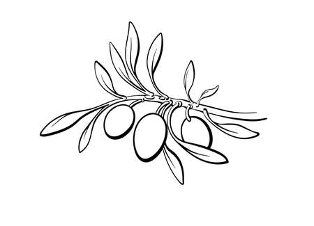 Olive branch, sprout, ripe fruits. Vector botanical simple illustration on white background. Hand drawn graphic art line image. Organic oil