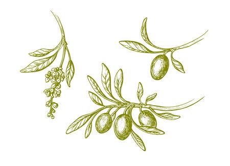 Vector olive vintage set. Hand drawn branch, green leaves, ripe fruit, flowers in bloom isolated on white background. Botanical sketch illustration. Bio oil. Greek harvest