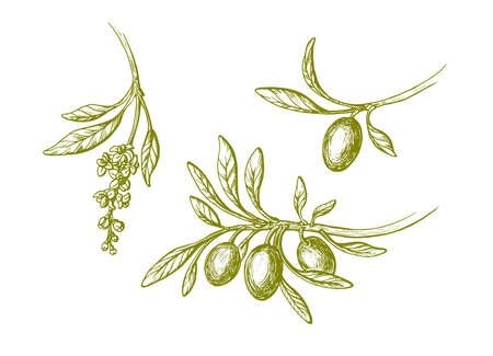 Vector olive vintage set. Hand drawn branch, green leaves, ripe fruit, flowers in bloom isolated on white background. Botanical sketch illustration. Bio oil. Greek harvest