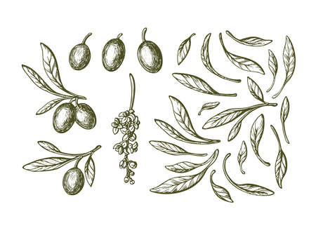 Olive sketch element collection. Vector illustration. Hand drawn plant, green leaves, ripe fruit, flowers in bloom on white background. Bio oil. Italian harvest