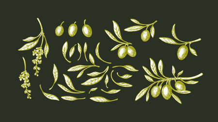 Olive set. Vector sketch illustration. Hand drawn branch, green leaf, ripe fruit, vintage flower. Bio oil. Italian farm harvest
