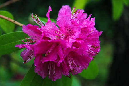 macro photo of a rhododendron in bloom with green background photo