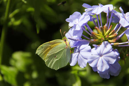 Yellow butterfly with wings open on violet flower seeds photo