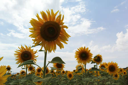 Photo of a field of sunflowers, in a day of summer Reklamní fotografie