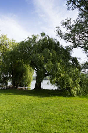 weeping willow tree: Weeping willow by the lake of Varese