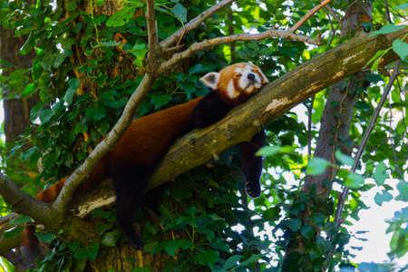 Photo of a smaller panda sleeping on a tree branch Stock Photo