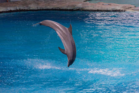 Photo of a dolphin jumping in the pool Stock Photo